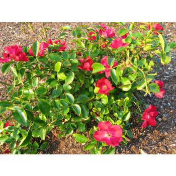 Carpet Roses St George Landscaping