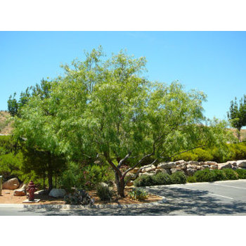 Honey Mesquite St George Landscaping