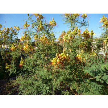 Yellow Bird Of Paradise St George Landscaping